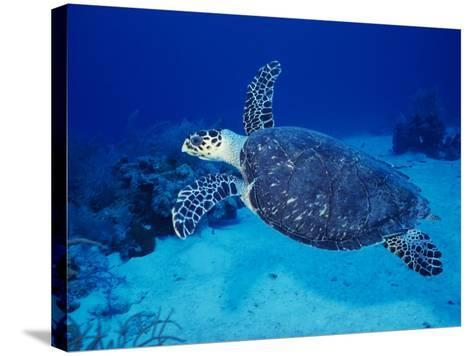 Hawksbill Turtle, Swimming Grand Caicos, Caribbean-Gerard Soury-Stretched Canvas Print