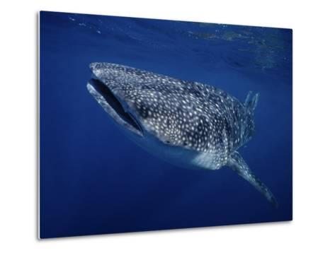 Whale Shark, Swimming, Australia-Gerard Soury-Metal Print