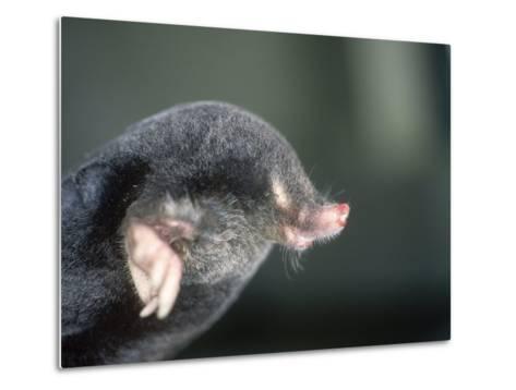 Mole, Talpa Europaea-Les Stocker-Metal Print