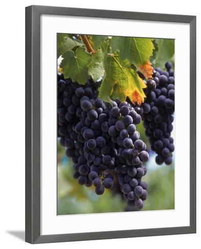 Close-up of Grapes on Vine-John Luke-Framed Art Print