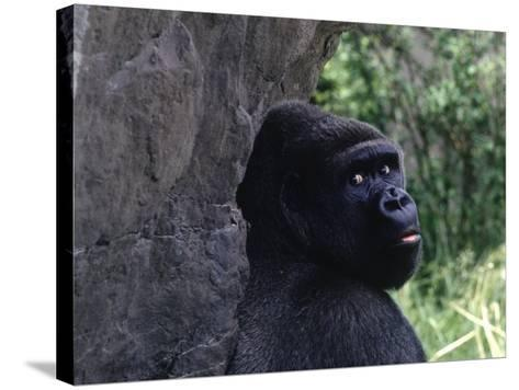Gorilla, Franklin Park Zoo, Boston-Harold Wilion-Stretched Canvas Print