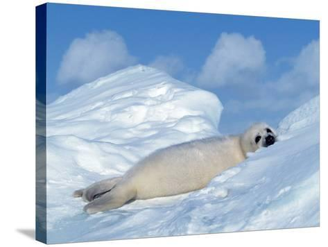 Harp Seal Pup, Pagophilus Groenlandicus, Canada-D^ Robert Franz-Stretched Canvas Print