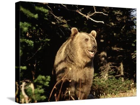 Grizzly Bear at Edge of Forest-Guy Crittenden-Stretched Canvas Print