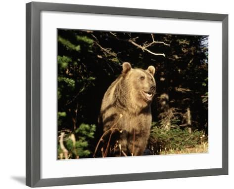 Grizzly Bear at Edge of Forest-Guy Crittenden-Framed Art Print