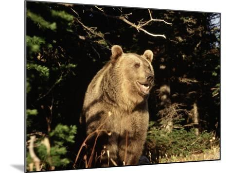 Grizzly Bear at Edge of Forest-Guy Crittenden-Mounted Photographic Print