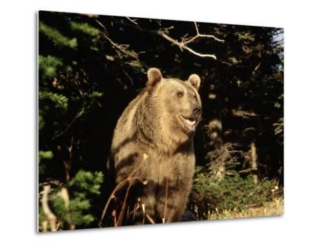 Grizzly Bear at Edge of Forest-Guy Crittenden-Metal Print