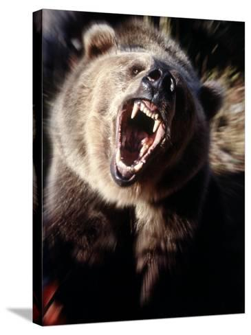 Grizzly Bear Growling-Guy Crittenden-Stretched Canvas Print