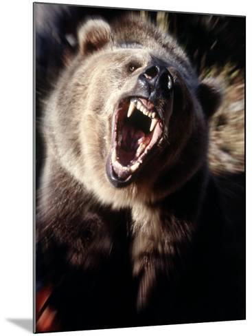 Grizzly Bear Growling-Guy Crittenden-Mounted Photographic Print