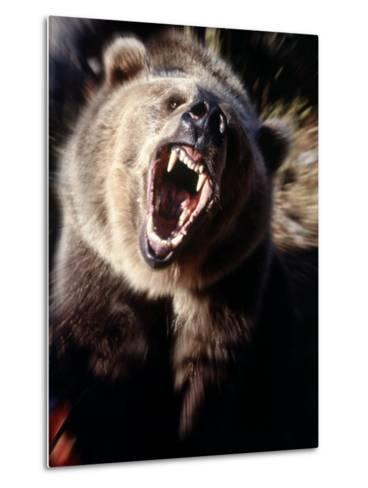 Grizzly Bear Growling-Guy Crittenden-Metal Print
