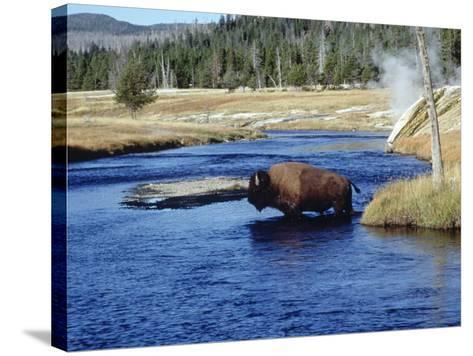 Bison Crossing the Firehole River, WY-Guy Crittenden-Stretched Canvas Print