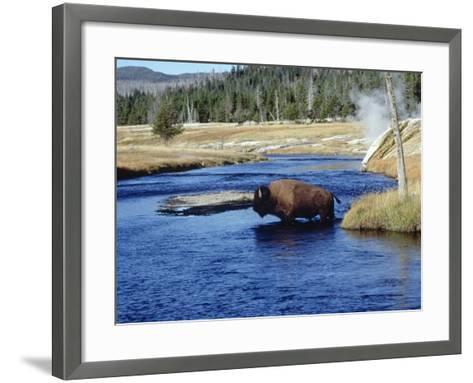 Bison Crossing the Firehole River, WY-Guy Crittenden-Framed Art Print