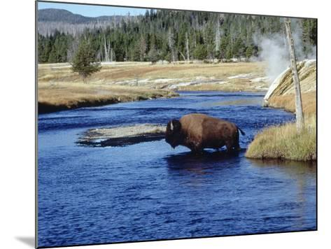 Bison Crossing the Firehole River, WY-Guy Crittenden-Mounted Photographic Print