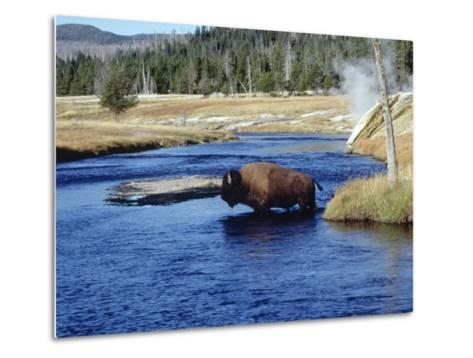 Bison Crossing the Firehole River, WY-Guy Crittenden-Metal Print
