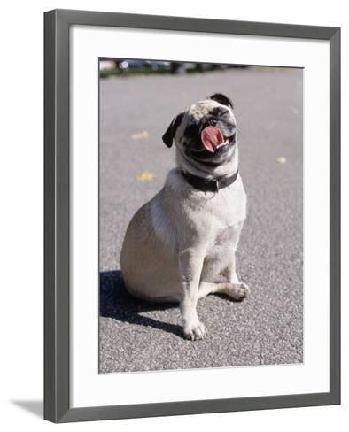 Pug Licking His Mouth-Henry Horenstein-Framed Art Print