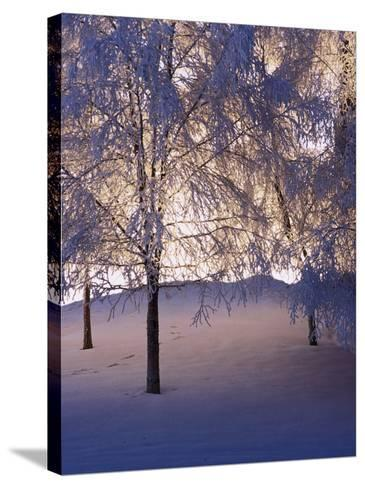 Snowy Light Trees, Anchorage, Alaska-Mike Robinson-Stretched Canvas Print