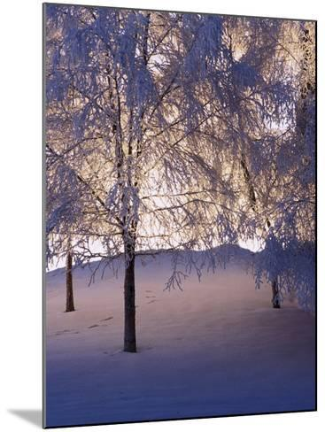 Snowy Light Trees, Anchorage, Alaska-Mike Robinson-Mounted Photographic Print