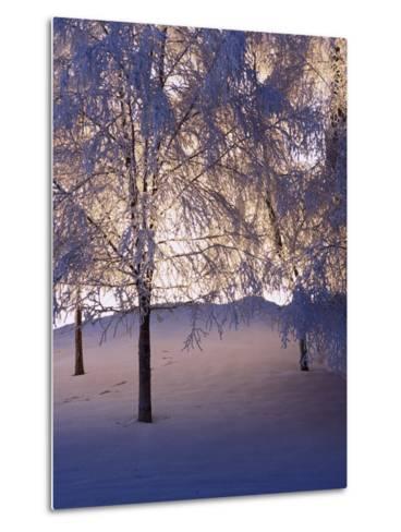 Snowy Light Trees, Anchorage, Alaska-Mike Robinson-Metal Print