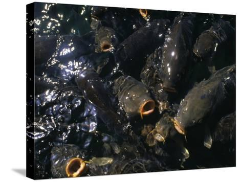 Schooling Carp, Lake Mead Nra, NV-Mark Gibson-Stretched Canvas Print