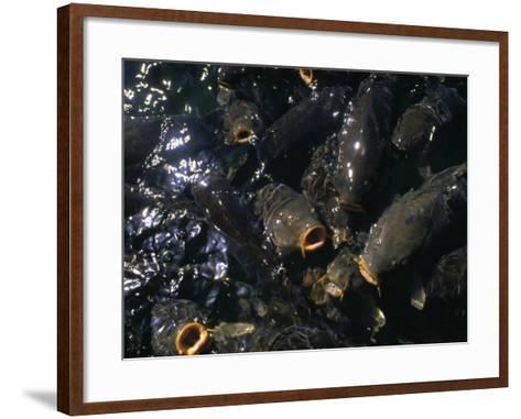 Schooling Carp, Lake Mead Nra, NV-Mark Gibson-Framed Art Print