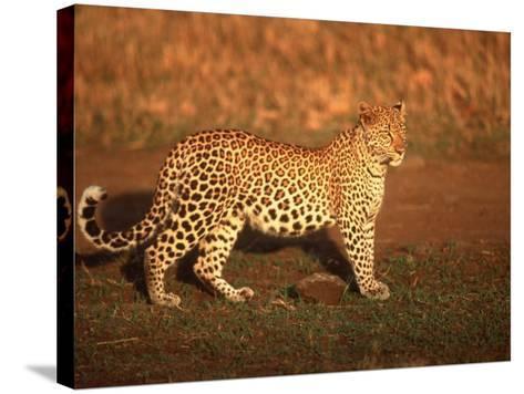 Kenya, Africa, Leopard, Panthera Pardus--Stretched Canvas Print