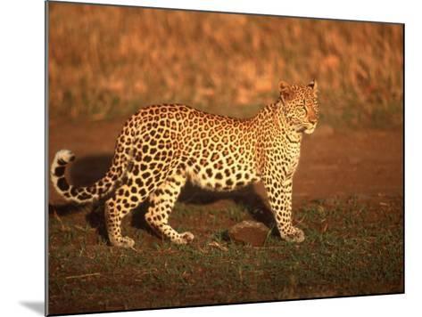 Kenya, Africa, Leopard, Panthera Pardus--Mounted Photographic Print