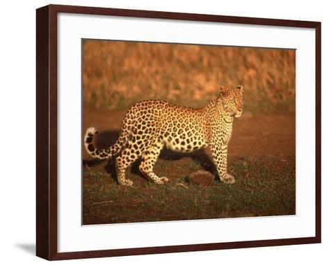 Kenya, Africa, Leopard, Panthera Pardus--Framed Art Print