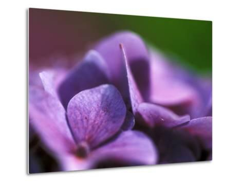 Hydrangea Macrophylla (Bouquet Rose), Close-up-Ruth Brown-Metal Print