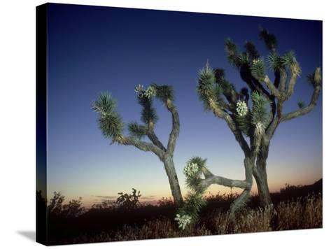 Joshua Tree, California, USA-Olaf Broders-Stretched Canvas Print