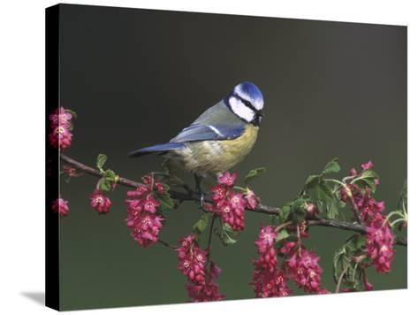Blue Tit, Perched on Wild Currant Blossom, UK-Mark Hamblin-Stretched Canvas Print