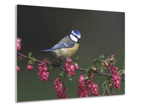 Blue Tit, Perched on Wild Currant Blossom, UK-Mark Hamblin-Metal Print
