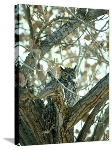 Great Horned Owl in Tree, NM-Stan Osolinski-Stretched Canvas Print