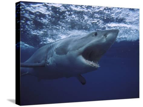 Great White Shark-Gerard Soury-Stretched Canvas Print