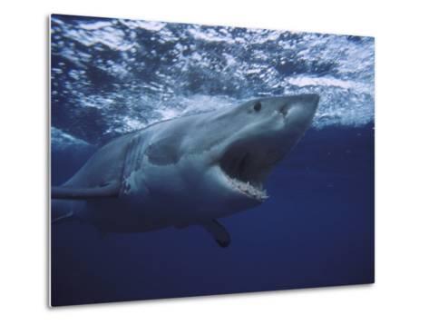 Great White Shark-Gerard Soury-Metal Print
