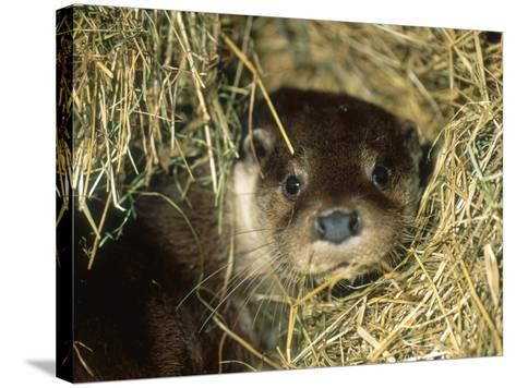 Otter in Straw, Aylesbury, UK-Les Stocker-Stretched Canvas Print