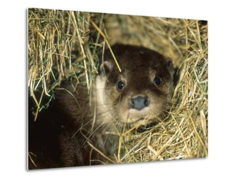 Otter in Straw, Aylesbury, UK-Les Stocker-Metal Print