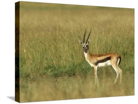 Thompsons Gazelle, Masai Mara NR, Kenya-Steve Turner-Stretched Canvas Print