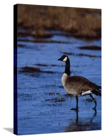 Canadian Goose in Water, CO-Elizabeth DeLaney-Stretched Canvas Print