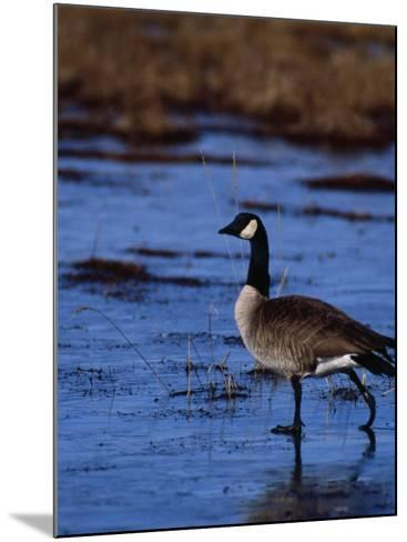 Canadian Goose in Water, CO-Elizabeth DeLaney-Mounted Photographic Print