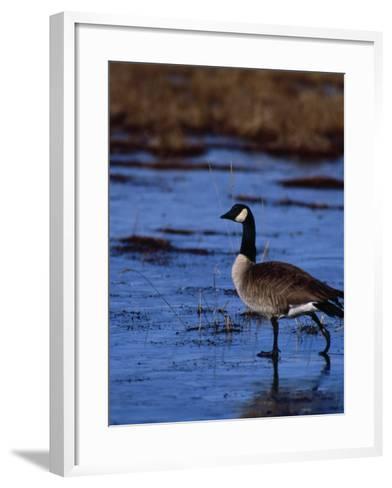 Canadian Goose in Water, CO-Elizabeth DeLaney-Framed Art Print