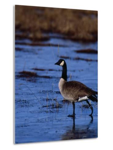 Canadian Goose in Water, CO-Elizabeth DeLaney-Metal Print