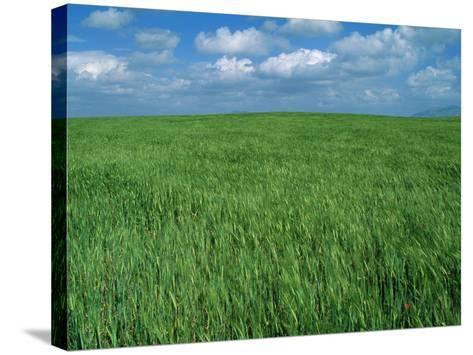 Wheat Fields Near Antequera, Spain-Gary Conner-Stretched Canvas Print