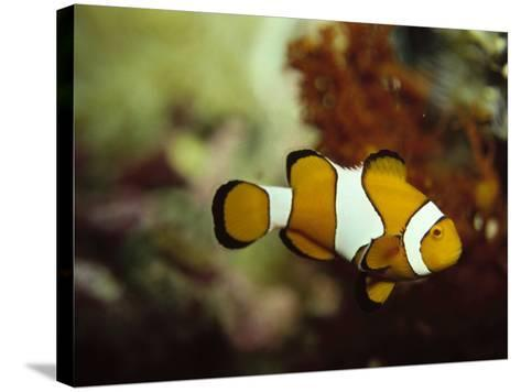 Clown Fish, Great Barrier Reef, Australia-Ernest Manewal-Stretched Canvas Print