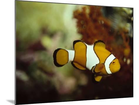 Clown Fish, Great Barrier Reef, Australia-Ernest Manewal-Mounted Photographic Print