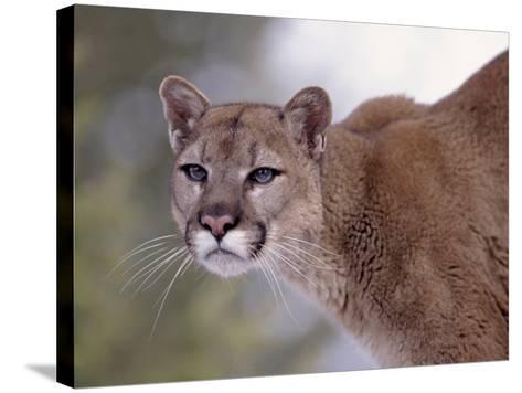 Puma-Ernest Manewal-Stretched Canvas Print