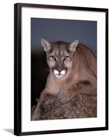 Mountain Lion on Rock, Felis Concolor-D^ Robert Franz-Framed Art Print