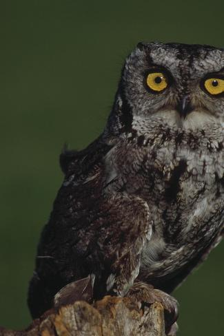 Screech Owl-Russell Burden-Stretched Canvas Print