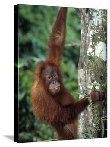 Adolescent Sumatran Orangutan, Indonesia-D^ Robert Franz-Stretched Canvas Print