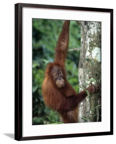 Adolescent Sumatran Orangutan, Indonesia-D^ Robert Franz-Framed Art Print