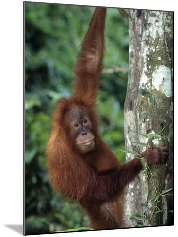 Adolescent Sumatran Orangutan, Indonesia-D^ Robert Franz-Mounted Photographic Print