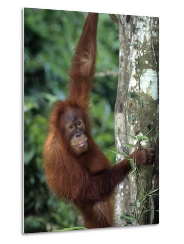 Adolescent Sumatran Orangutan, Indonesia-D^ Robert Franz-Metal Print